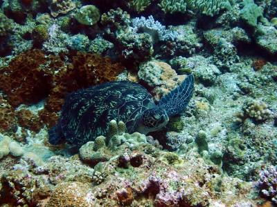 慶良間諸島 アオウミガメ